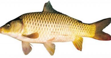 Khi bạn mơ thấy con cá chép thì mang tới ý nghĩa gì chuẩn nhất