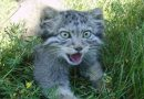 Mơ thấy mèo rừng có điềm báo gì? đánh con số nào?