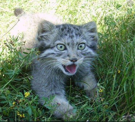 Mơ thấy mèo rừng